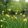 黄菖蒲と池