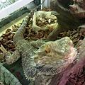 写真: トアゴヒゲトカゲ。 リザー...