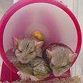 写真: マカロニマウス。 三匹仲良...