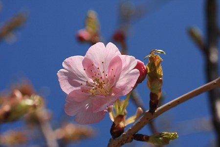 2012.03.21 和泉川 さくら