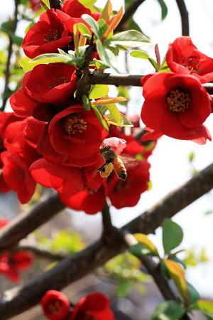 2012.04.06 和泉川 ボケにミツバチ