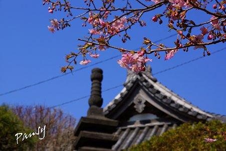 河津桜と・・龍口寺・・3