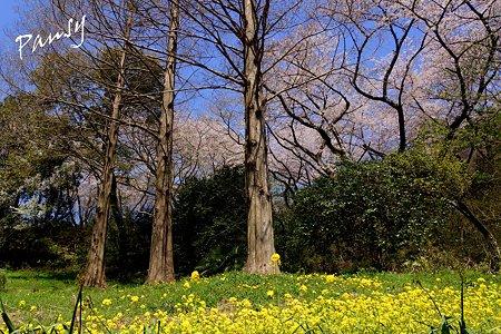 三ッ池公園の桜 33