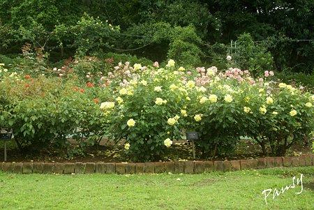 夏の rose garden..4