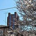Photos: 桜とニンジン2012