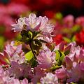 写真: 春の陽を浴びたツツジ!