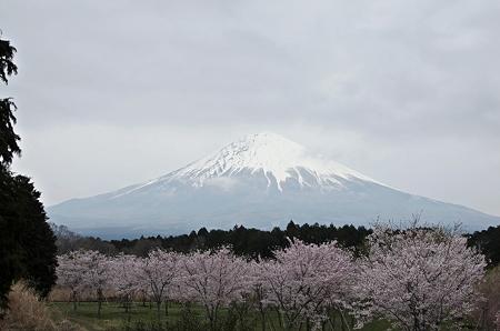 曇りのち桜と富士山2