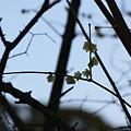 Photos: 岡山後楽園の蝋梅