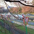 Photos: 旭川さくらみちの桜
