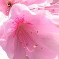 [Spring] 2011 つつじ