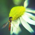 写真: 花とハチ