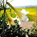 Photos: 白百合