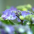 Photos: 梅雨の華