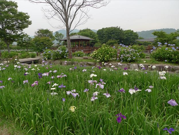 大和花しょうぶ園(3)