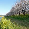 うきは市・流川の桜並木(2)