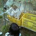 写真: 小川村のヤギ~子供産まれてた~!