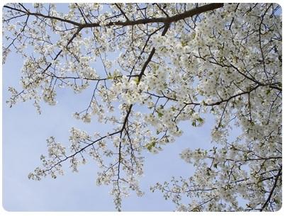 20120415 見上げると白雪桜~♪