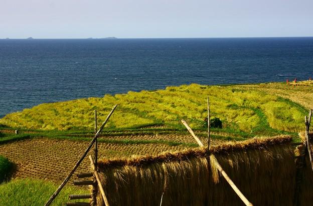 輪島の白米の千米田 稲刈り後 ハザ掛け  七ツ島