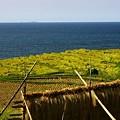 Photos: (蔵出し)輪島の白米の千米田 稲刈り後 ハサ掛け