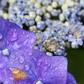 雨上がりの紫陽花5