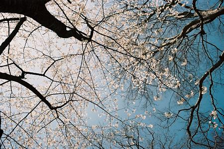 om1_桜_01