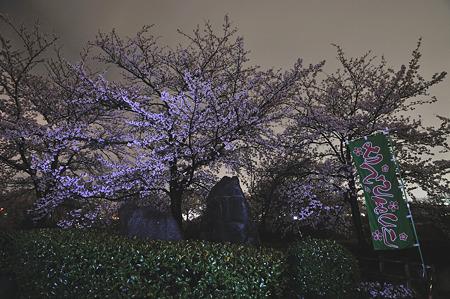 自力ライトアップで桜撮影・4