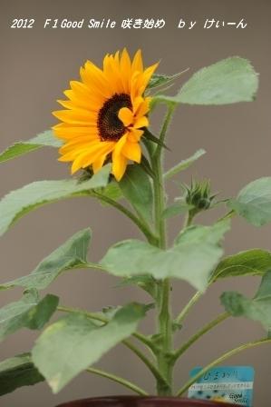 2012 ミニひまわりの咲き始め・・・名札を付けて