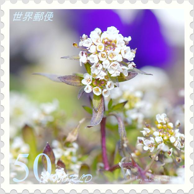 <花切手*アリッサム*春の予感>