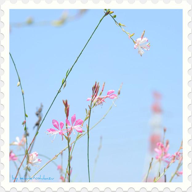 <花切手*山桃草 on the Blue Sky>