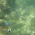 写真: アルパット島近くで熱帯魚その05