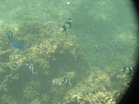 アルパット島近くで熱帯魚その13