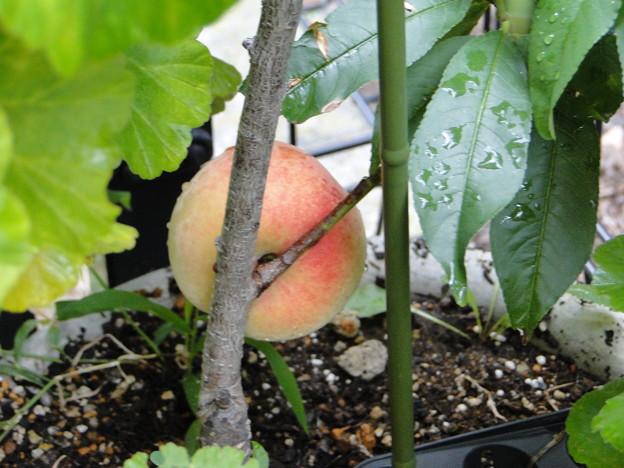 写真: 桃が熟れた