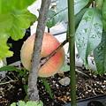 Photos: 桃が熟れた