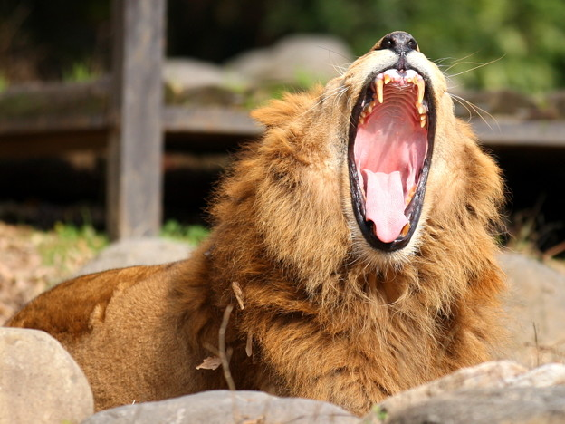 ライオンの大きな歯(キバ)