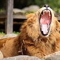Photos: ライオンの大きな歯(キバ)
