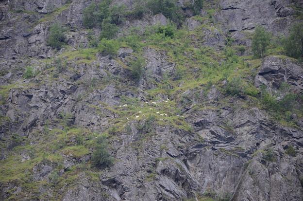 25.絶壁にて平然と草をはむ山羊